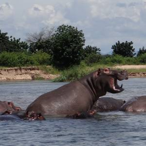 Hippos we spotted on the Zambezi River (Which wasn't hard to do.)