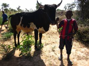 A boy in Niger taking the family cattle to the well for water