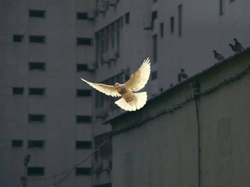 a dove with a city building in the background.