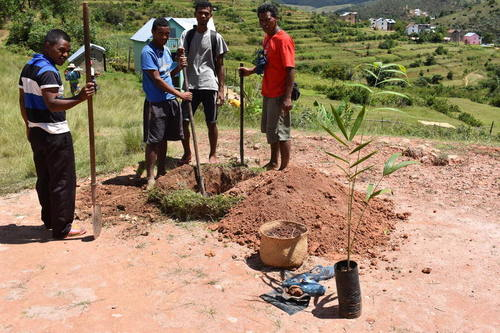 Planting native palm at FJKM church in Ambalafeno (March 1, 2019).