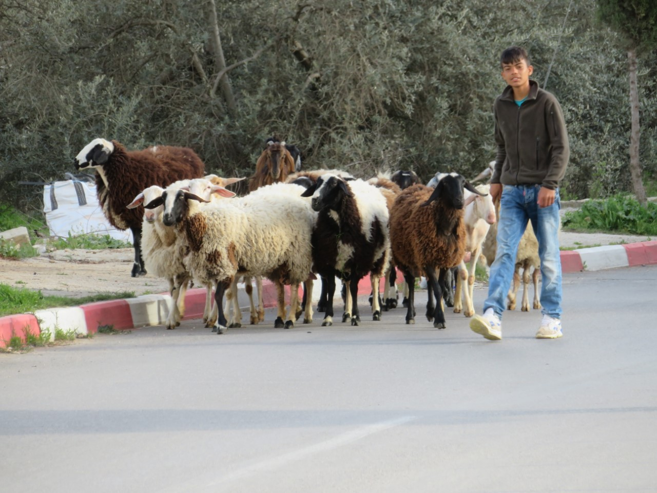 A Palestinian Shepherd boy with his sheep and goats, all that's visible in Bethlehem's empty streets.