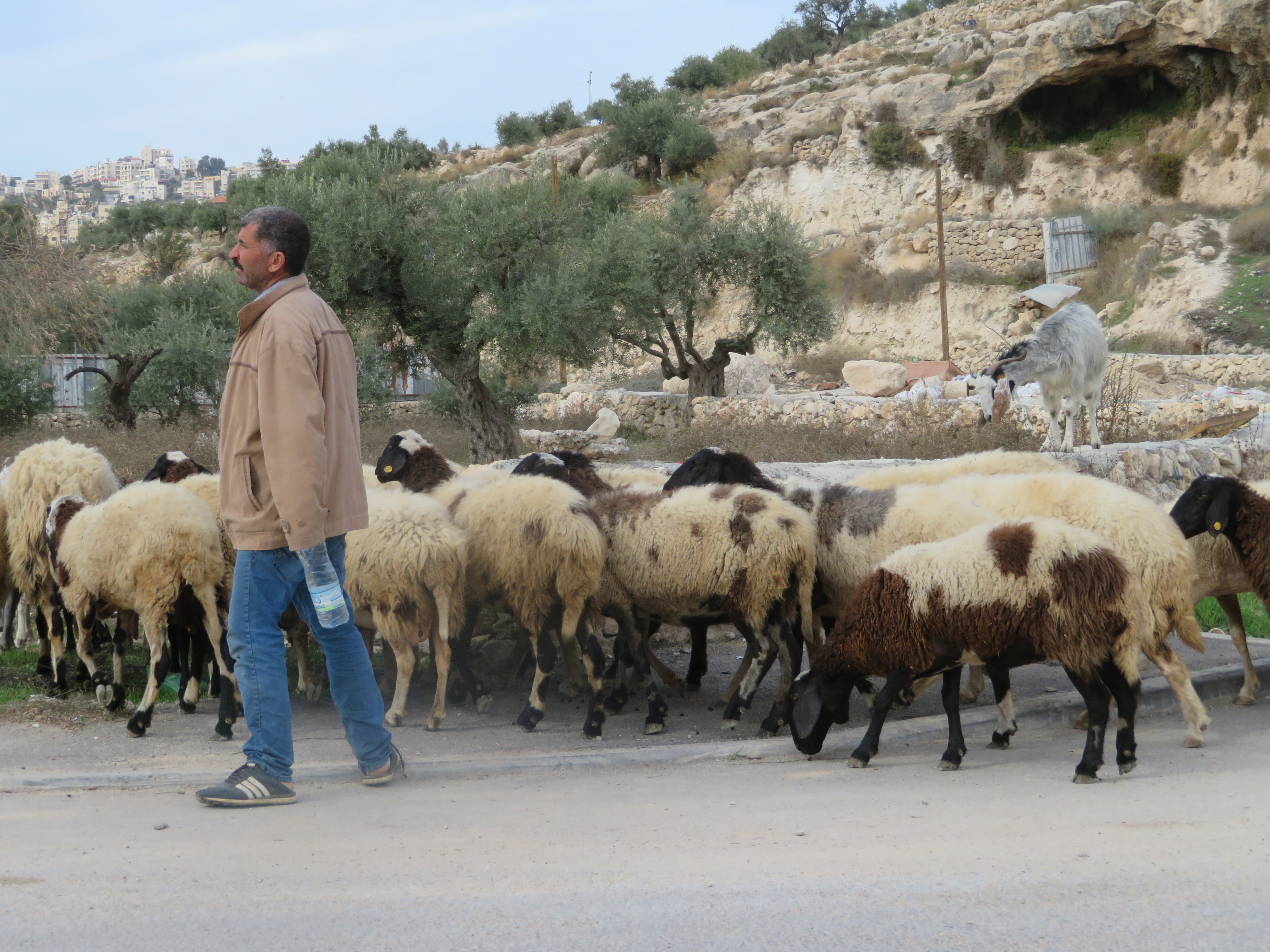 A modern day shepherd and his flock, in the valley of the shepherds, near to Bethlehem.