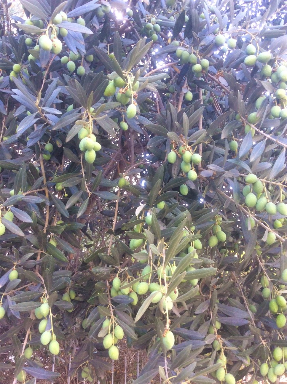 The olive harvest is looking to be a good one this year.