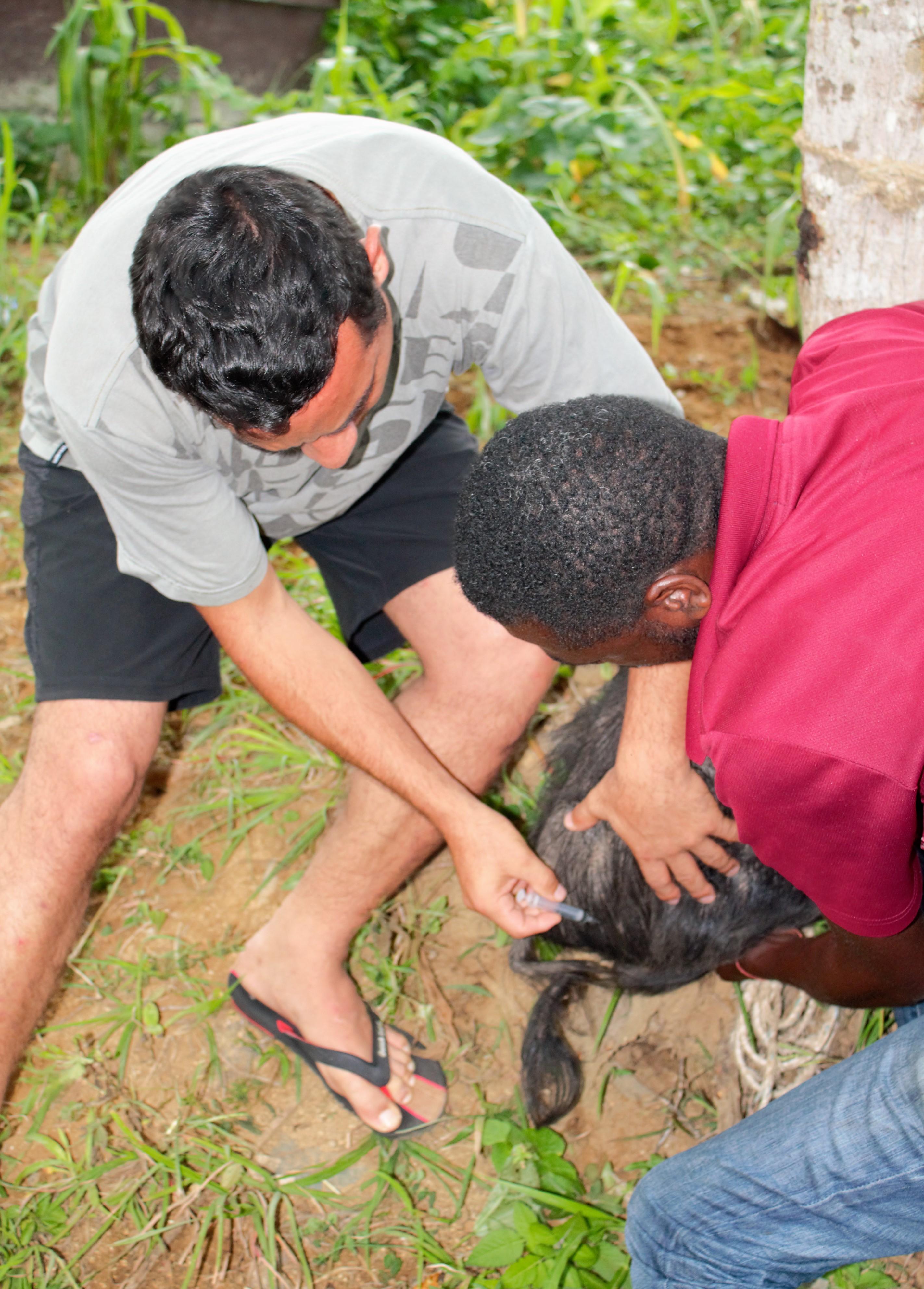 Veterinario de Haití (derecha) enseña a un estudiante de Argentina a vacunar cerdos de una de las dos enfermedades virales que comúnmente devastan la producción animal de agricultores haitianos.