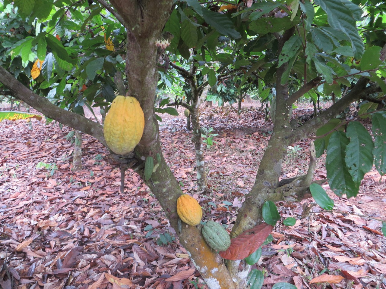 A cocoa tree with the pods growing from the trunk. The beans which are fermented, dried, and ground into cocoa powder are the seeds inside these pods.