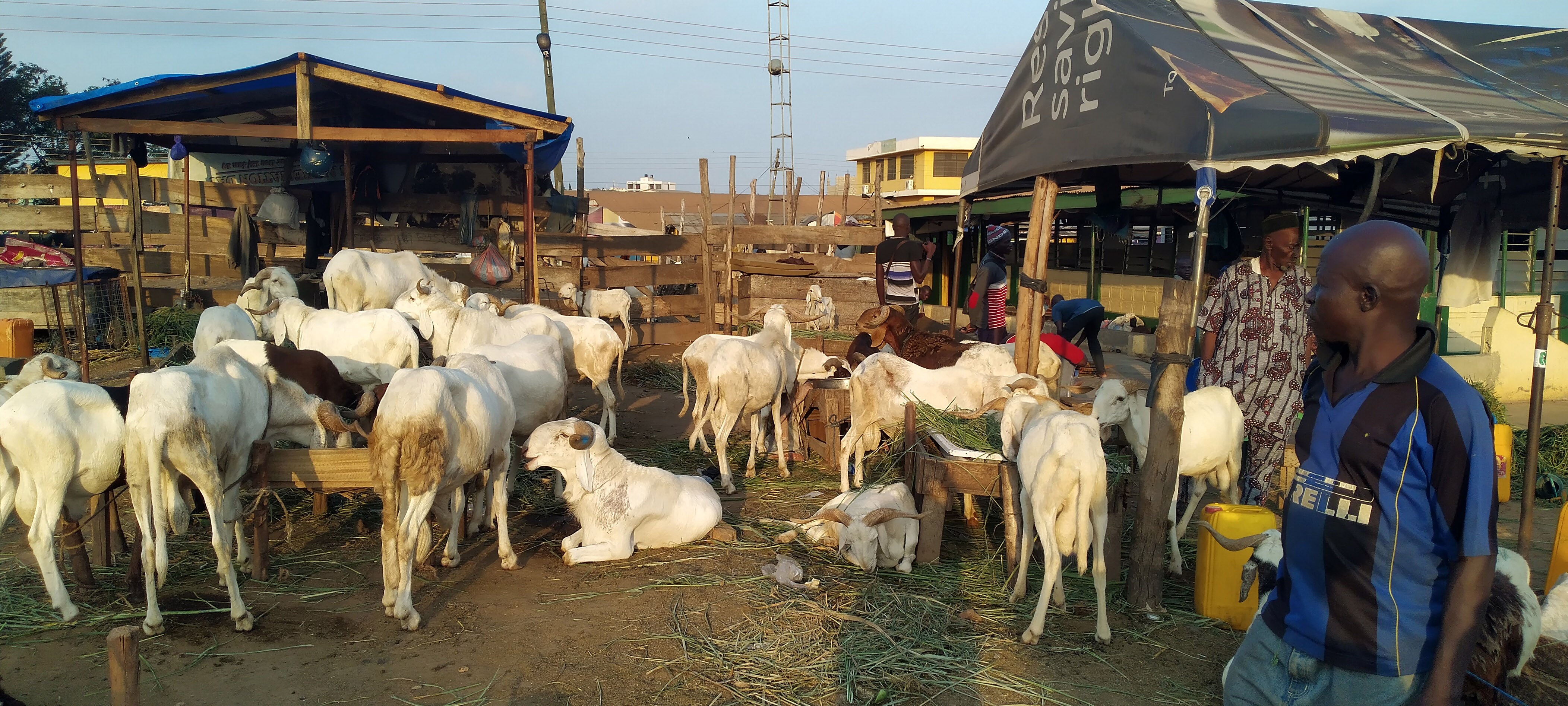 Our runs sometimes take us past the goat and sheep market in Accra.