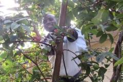Boniface harvesting guava