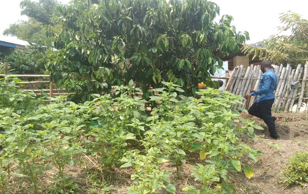 The home garden started by Shabani's family with the help of the Manda Omba and IMA community annimator, Assani Muloba.