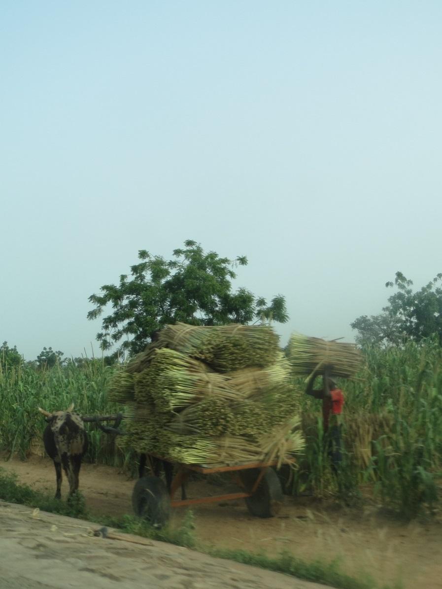A farmer gathering bundles of millet at harvest time.