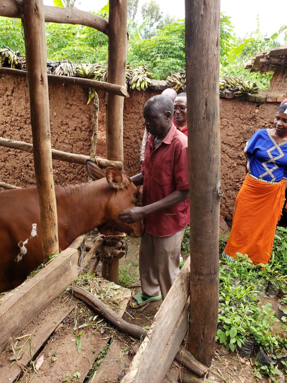 Cow purchased by a member of the savings program at Sure Parish.