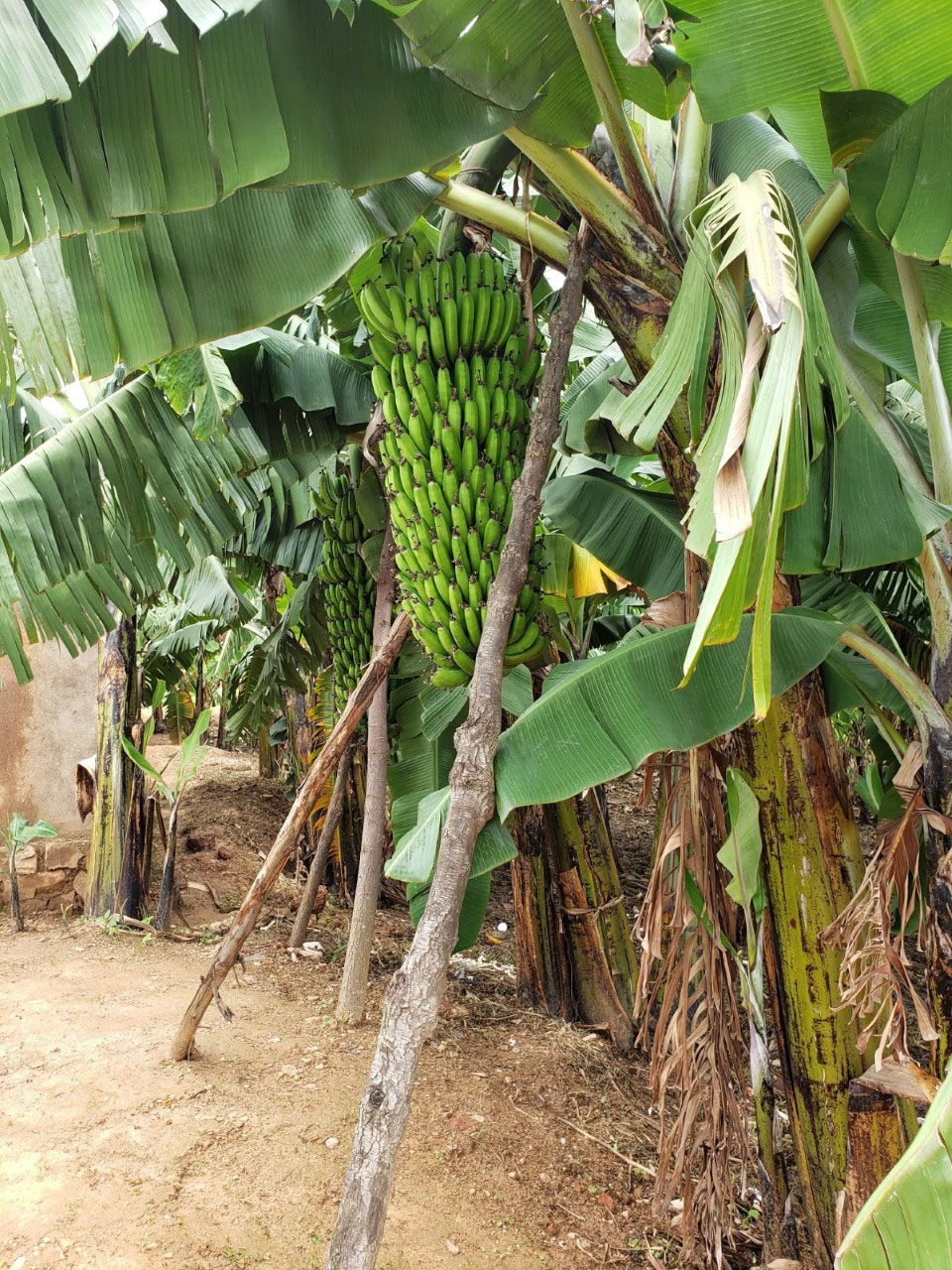 A banana tree planted with funds borrowed from the savings program.