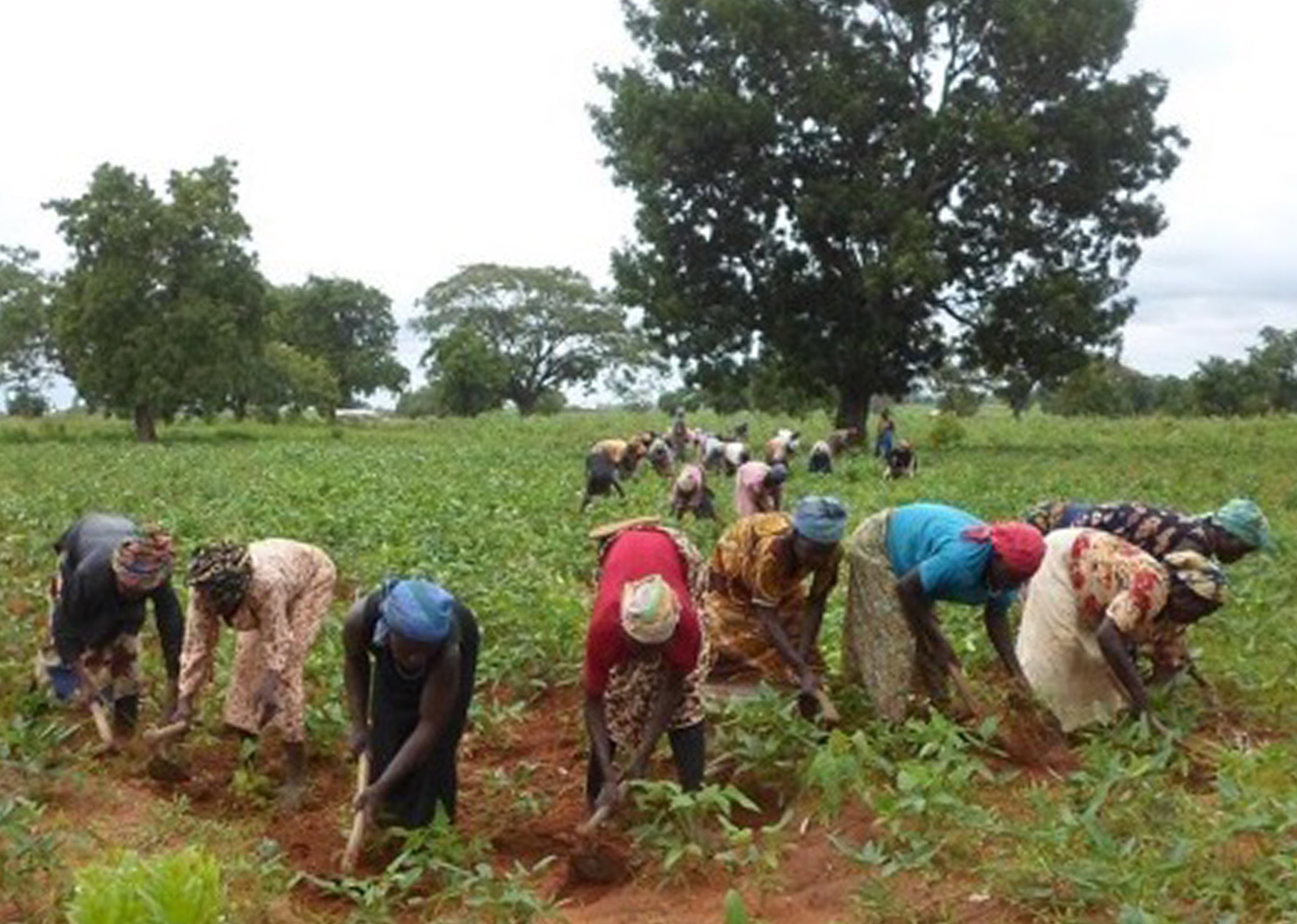 Accused women of the Gambanga camp weeding beans. Photo provided by Rev. Gladys.