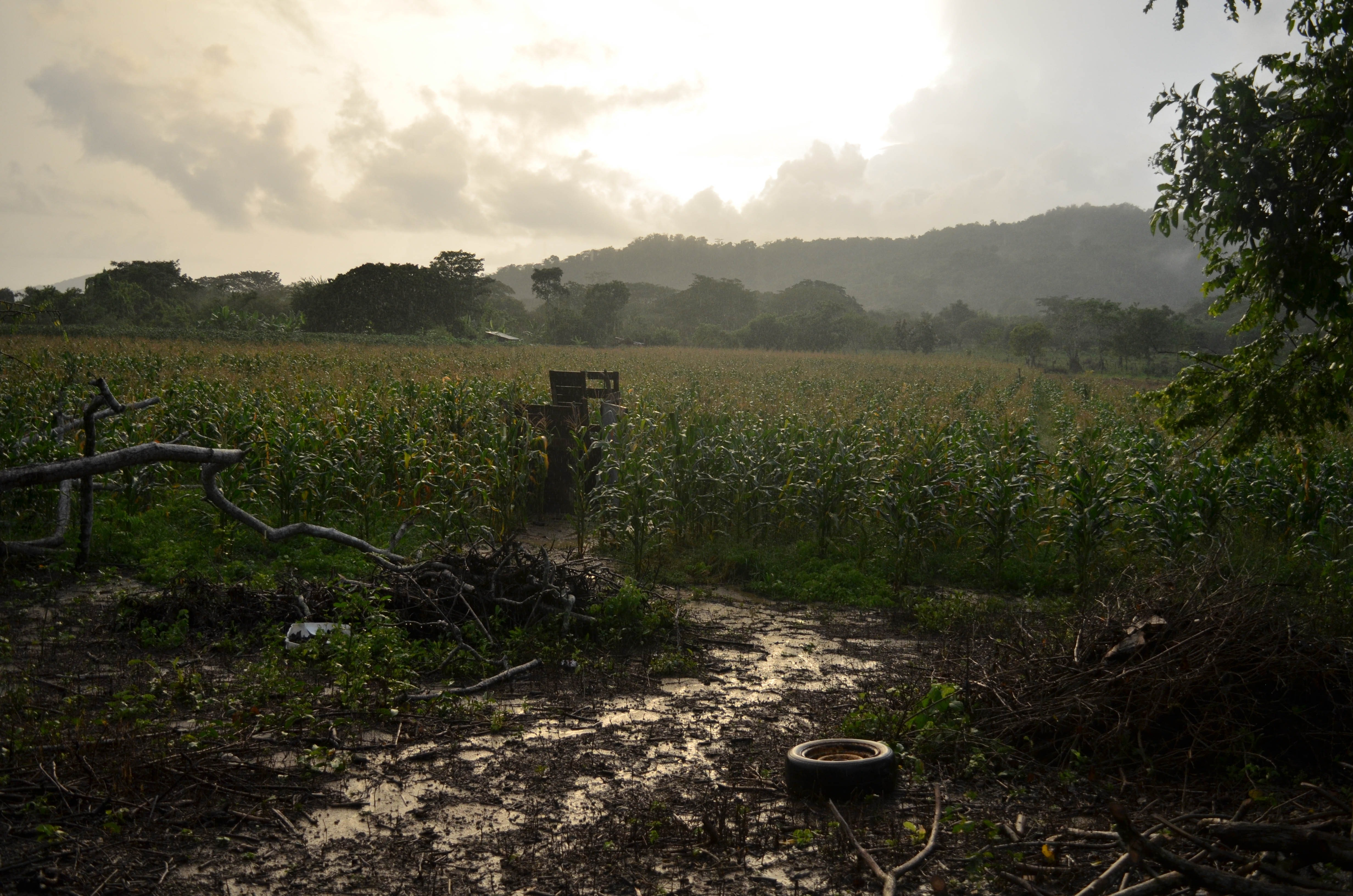 Sun over the muddy cornfield. Credit: Ainsley Herrick