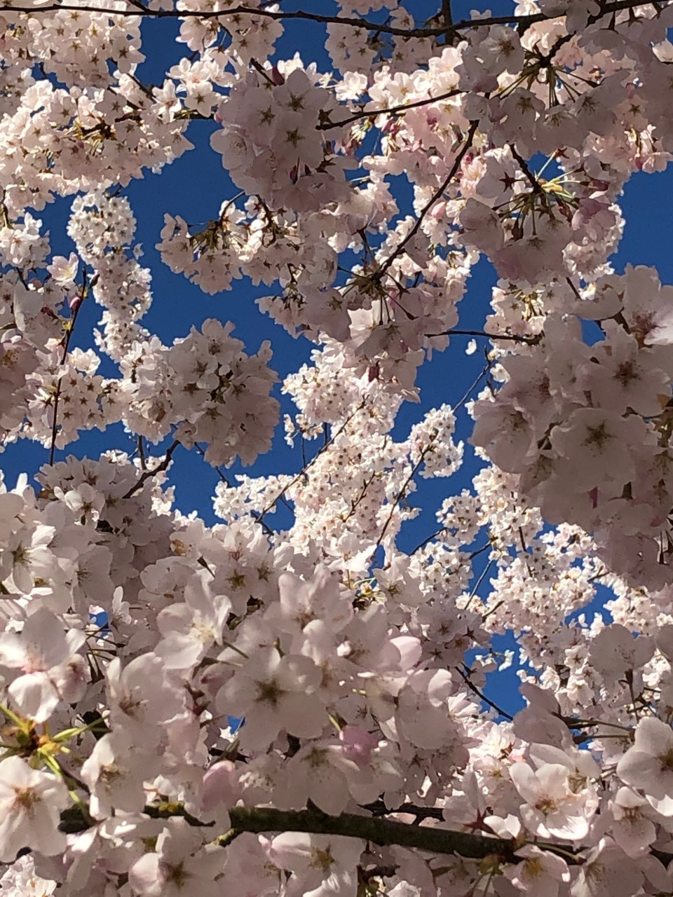 Spring cherry blossoms have been a reminder of life.