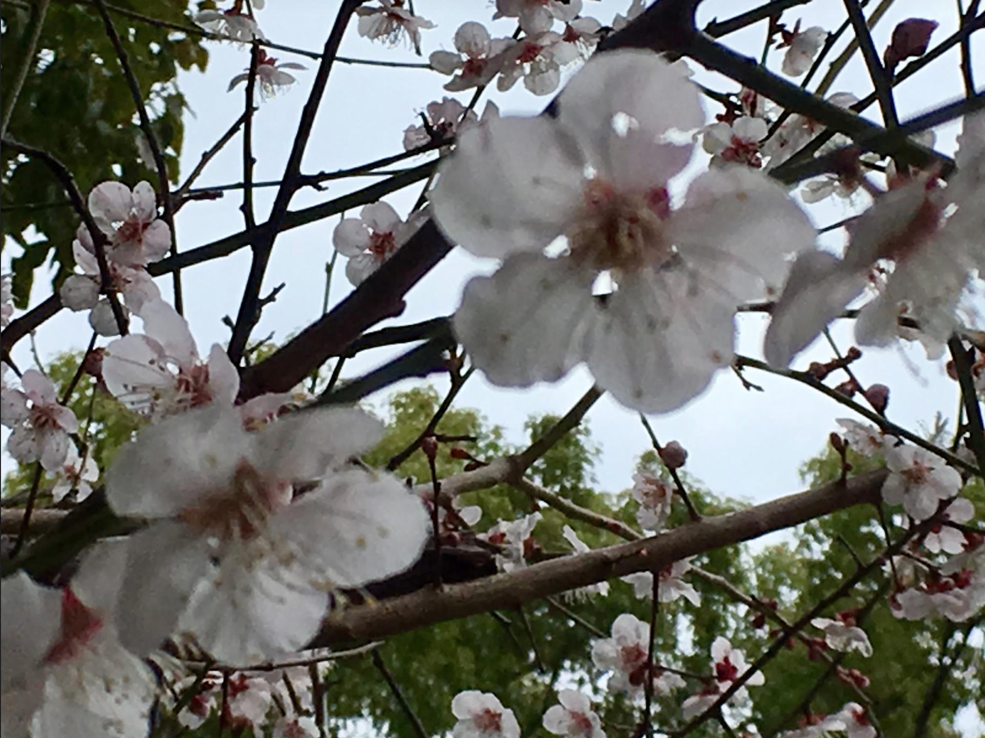 Hiroshima plum blossoms