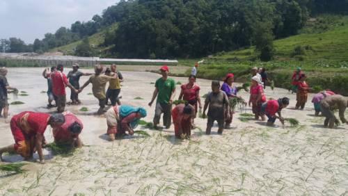 Nepalese farmers transplanting rice