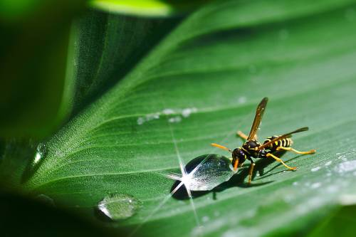 yellow jacket bee drinking from a droplet of water on a leaf