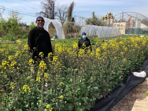men with mustard in field