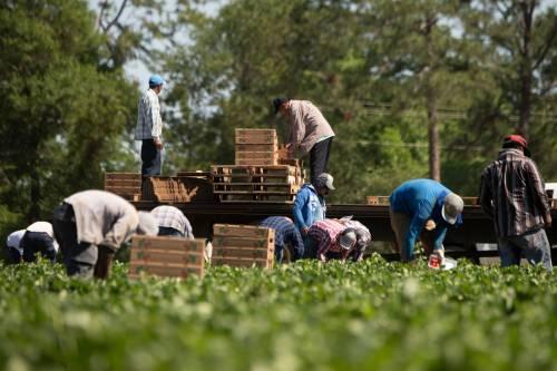 farmworkers harvesting strawberries