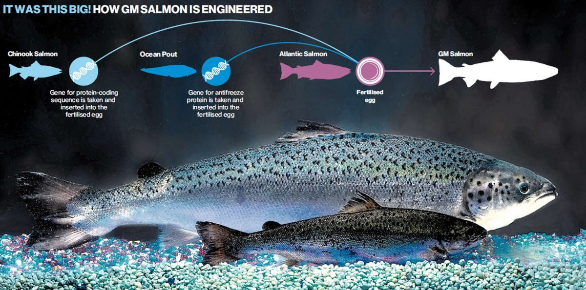 Image shows how GE salmon is created