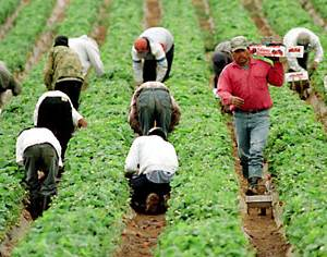 farmworkers in strawberry field