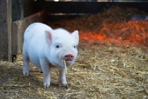 touch guy piglet with straw in mouth