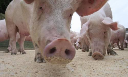 pigs eating grain