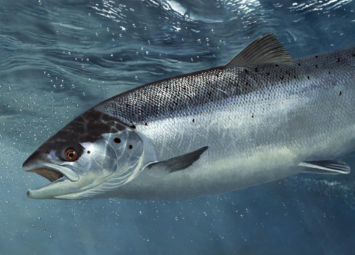 beautiful salmon