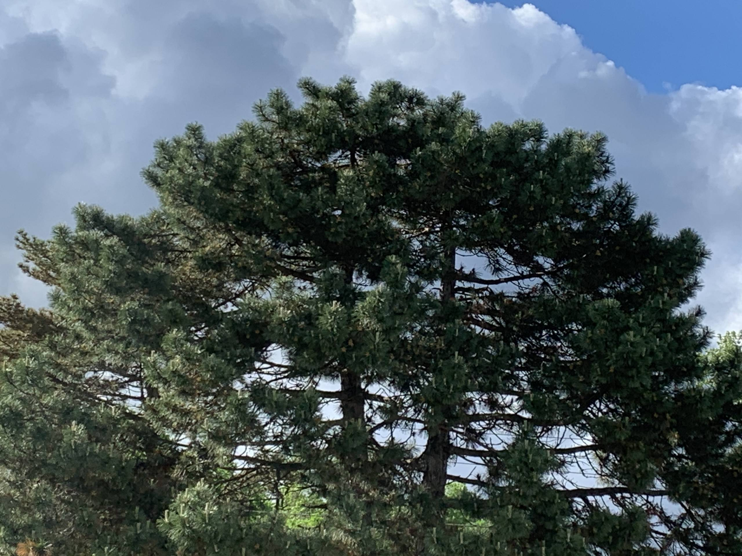 Scotch pine set off against partly cloudy sky