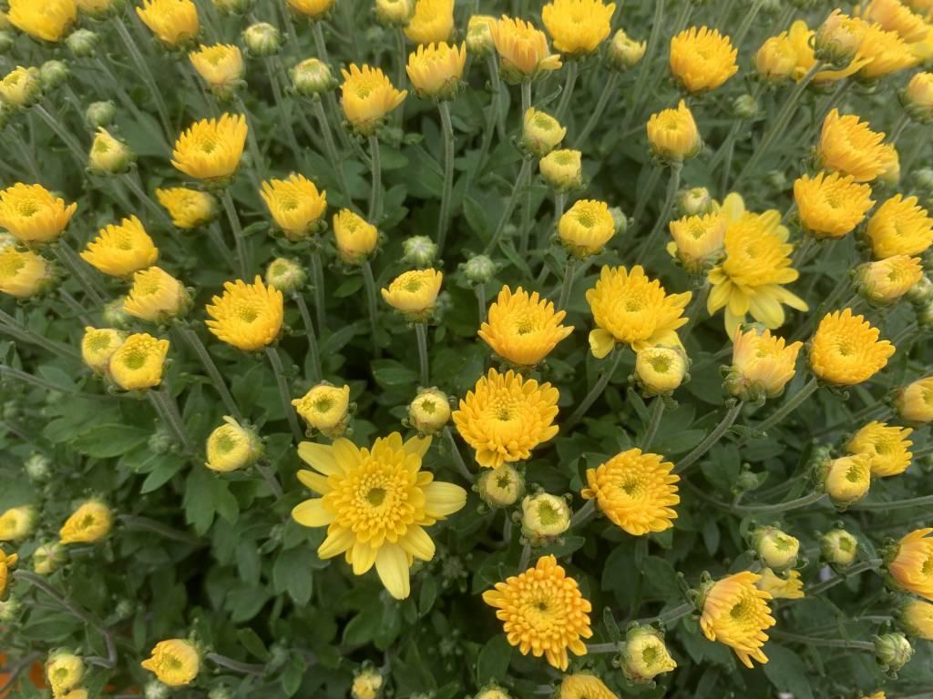 Mum buds opening yellow