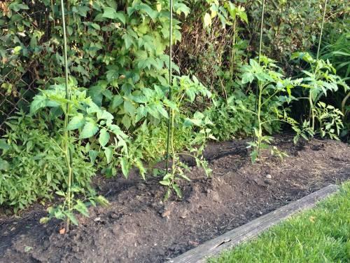The tomatos growing in my backyard remind me of the need to plant seeds that bear good fruits. / Los tomates que crecen en mi patio me recuerdan de la necesidad de plantar semillas que den buenos frutos.