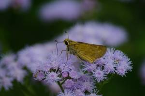 Skippers pausing for nectar blue mist blooms