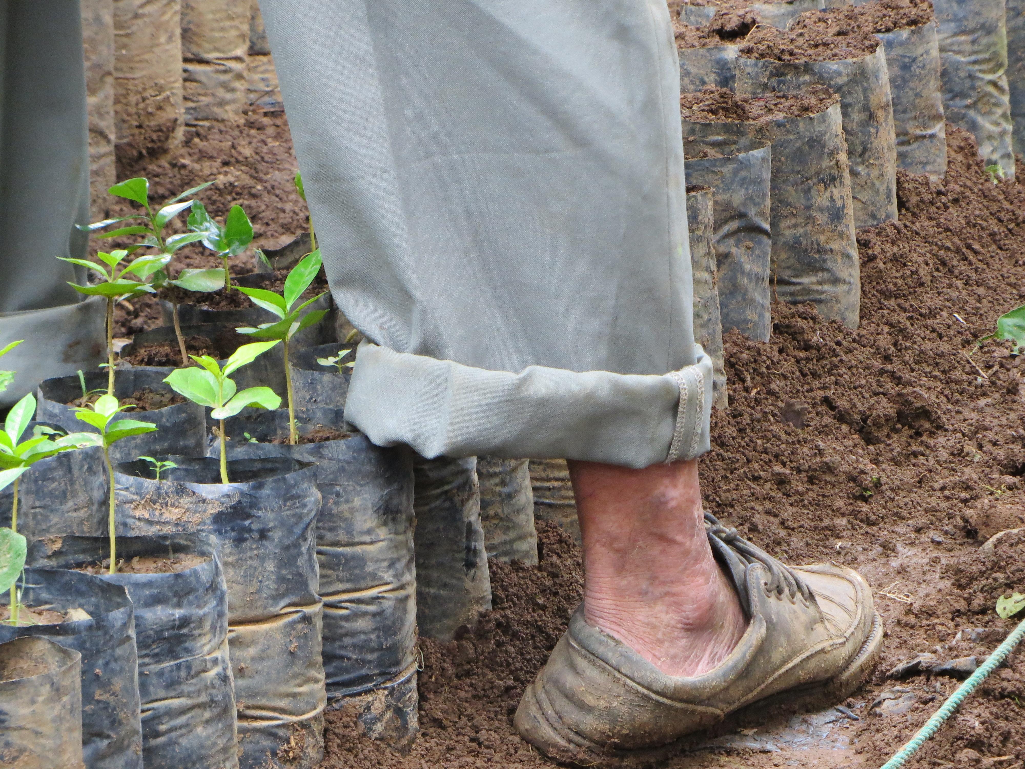 Farmer feet with Coffee seedlings