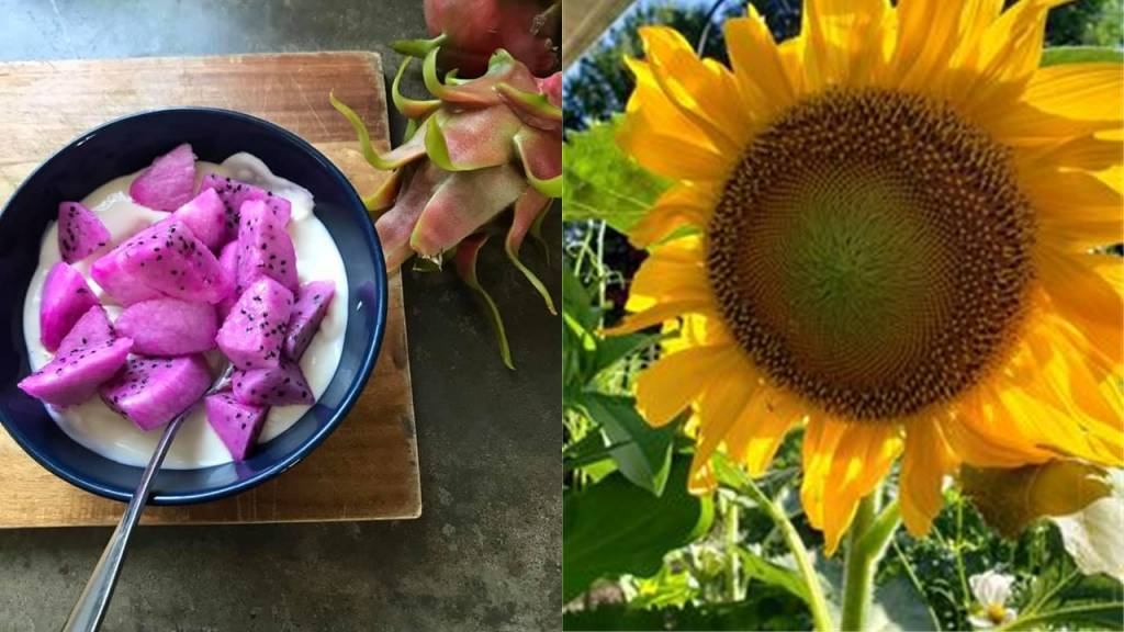 Bowl of Dragon Fruit/ Large Sunflower