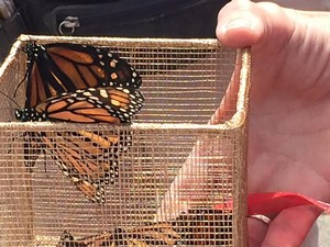 Release of Eastern Monarch butterflies